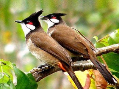 Top những loài chim cảnh được nhiều người nuôi nhất ở Việt Nam