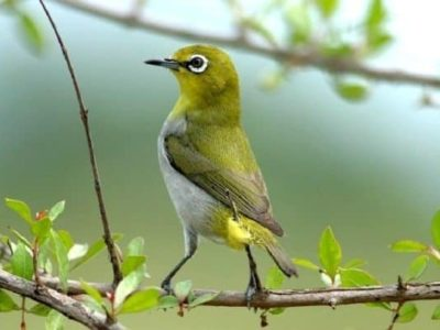 Cách huấn luyện chim vành khuyên non