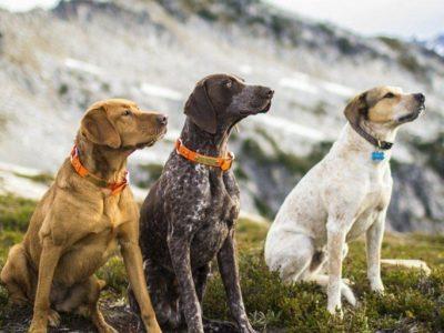 Chó Phú quốc và đặc điểm của chó Phú Quốc